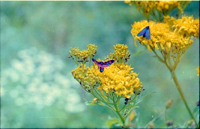 Մակրո․ Թիթեռ ․ Ծաղիկ